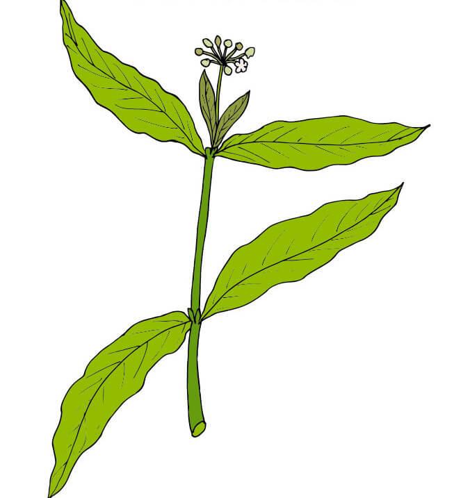 yohimbe leaf